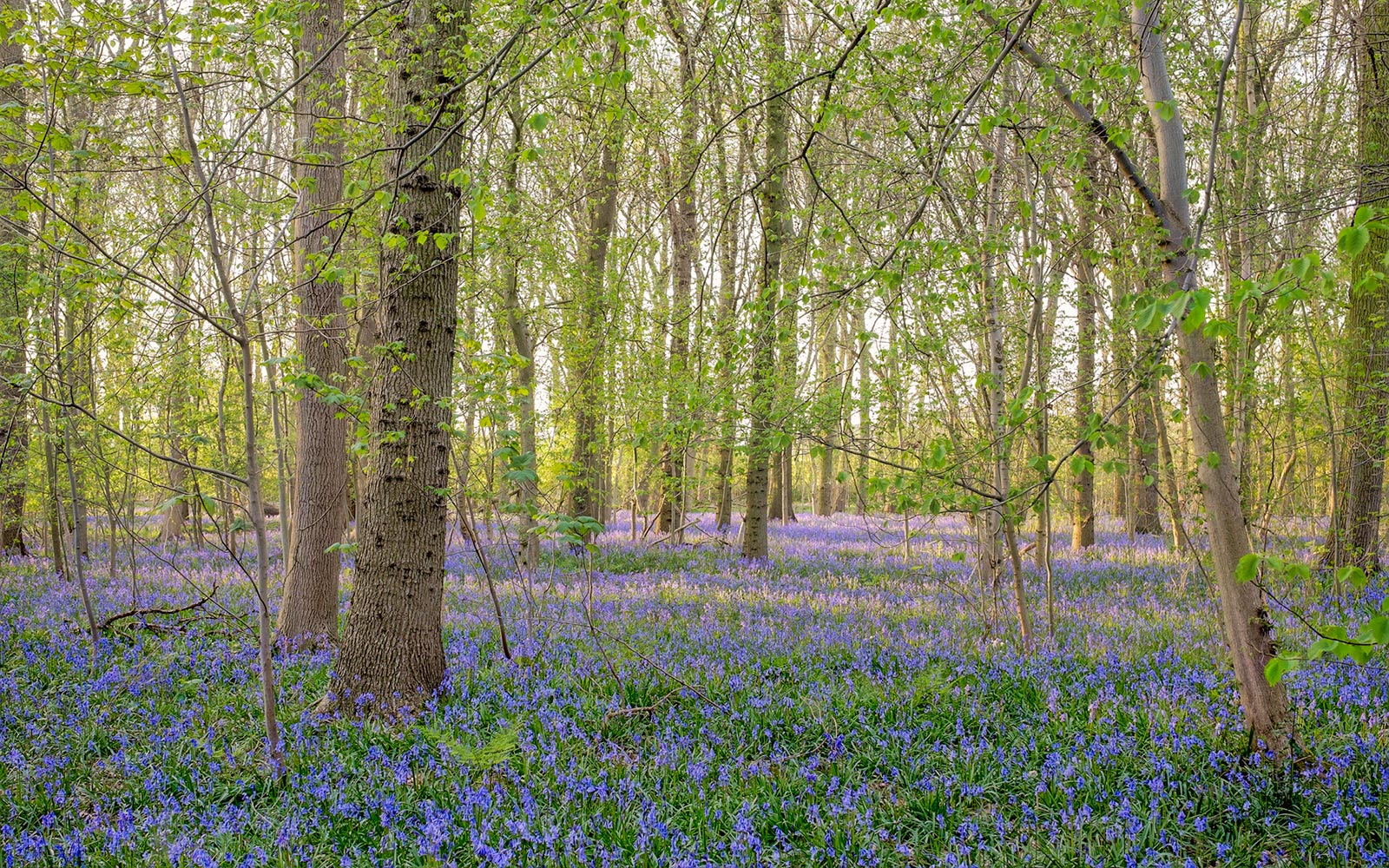Blubells in mixed woodland, Rougemont Woods - Fuji X-E2 and 23mm lens