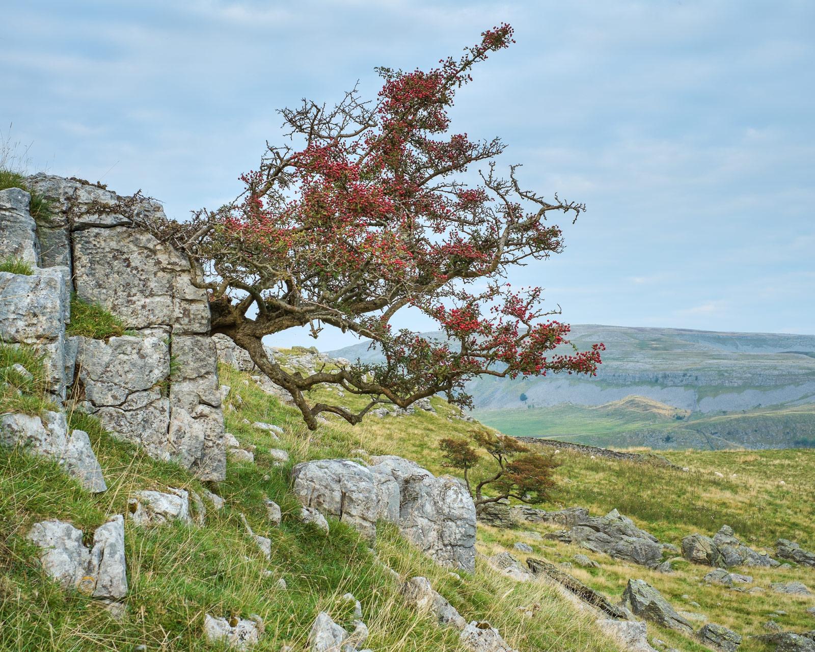 Hawthorns grow everywhere! Norber erratics