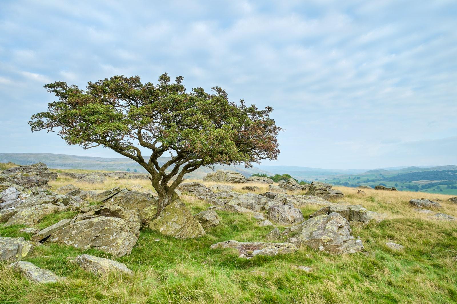 Hawthorn, set amongst the rocks - Norber erratics