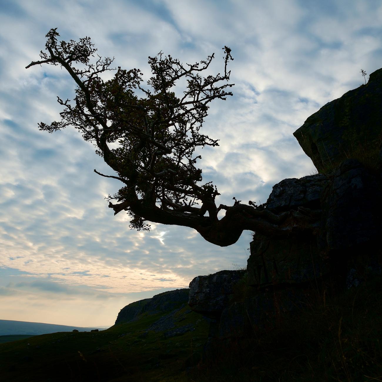 Hawthorn silhouette, Norber erratics
