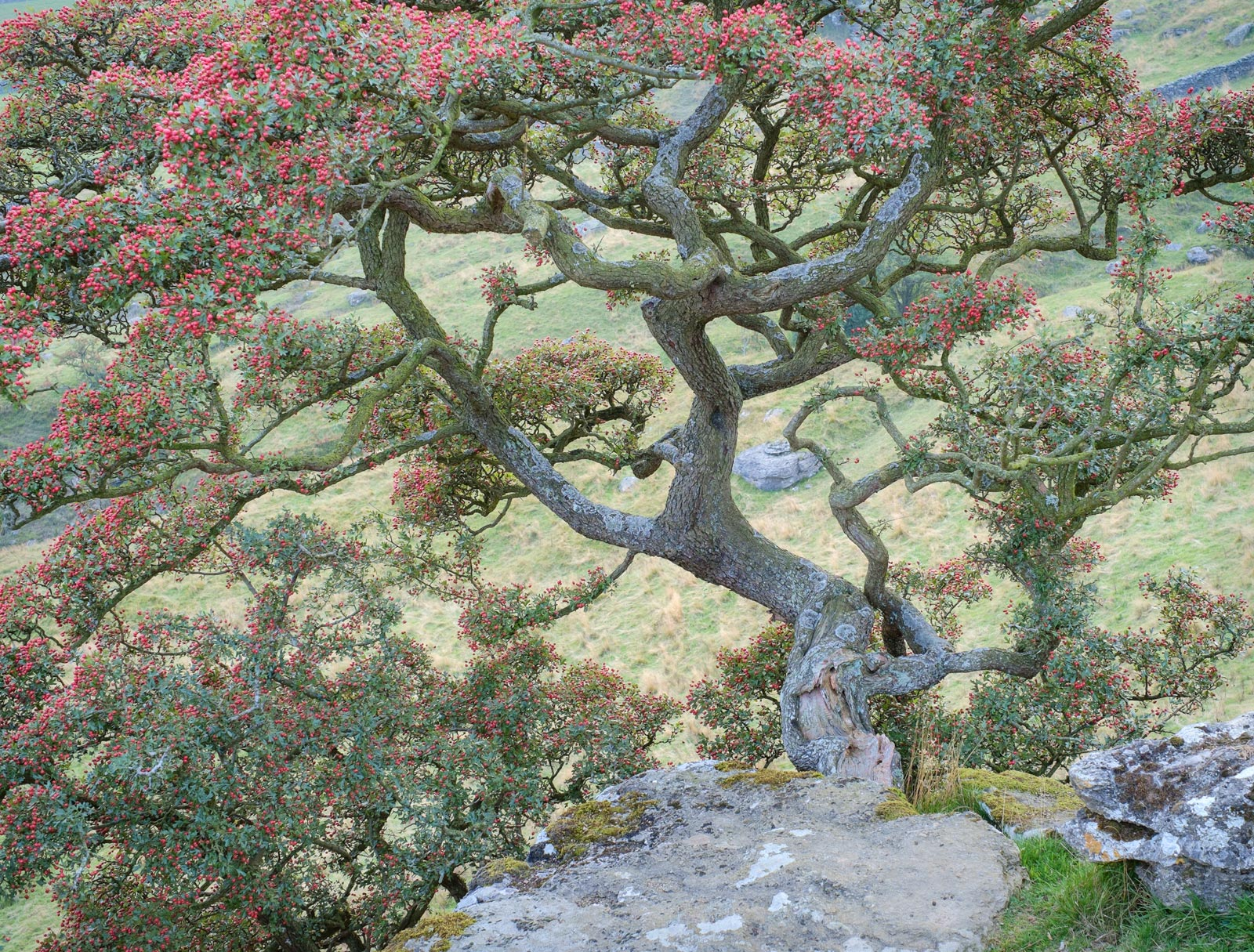 Branches and berries - Hawthorn tree at Norber erratics